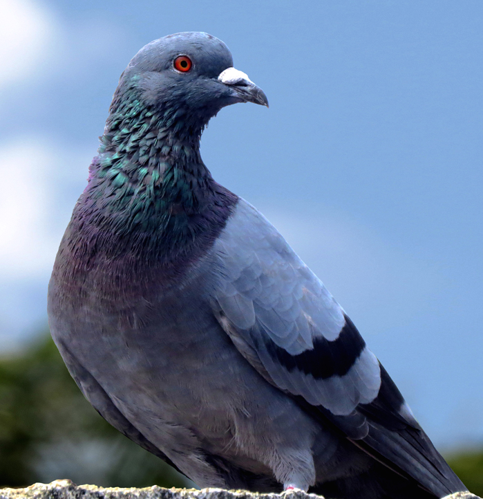 Are You Smarter Than a Pigeon?